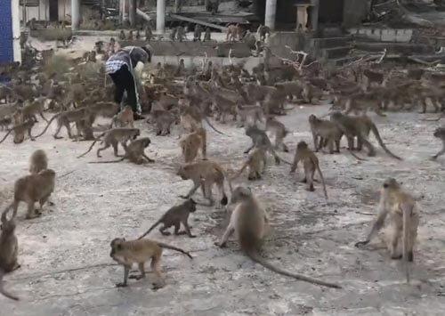 хаос во время обеда обезьян