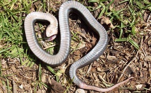 змеи притворяются мёртвыми