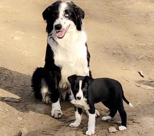 щенок тянет пса за хвост