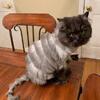 кот похож на аккордеон