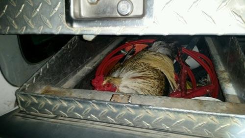 пернатый пассажир в грузовике