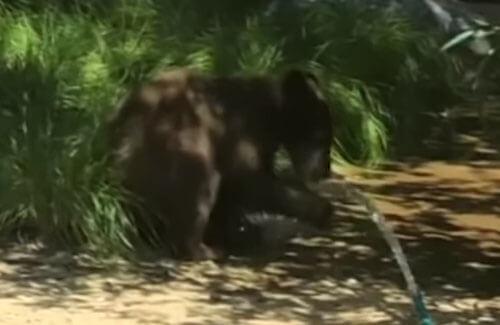 медвежонок в декоративном пруду