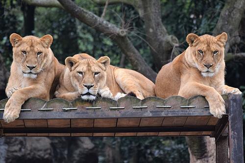 учения с фальшивым львом