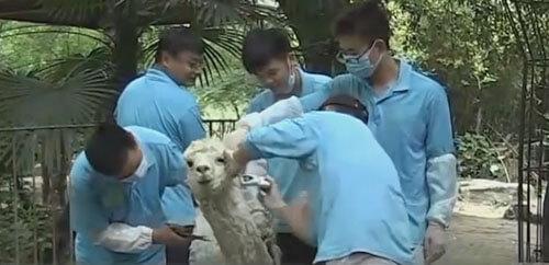 стрижка страдающих от жары лам