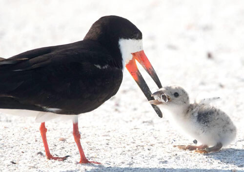 птица кормит птенца окурком