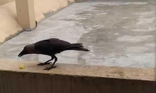 ворона прилетает в гости