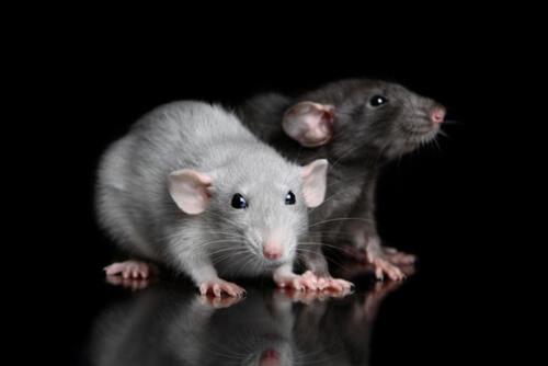 запрещённое крысиное мясо