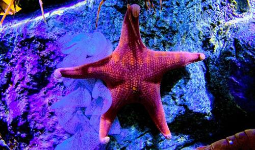 ягодицы морской звезды