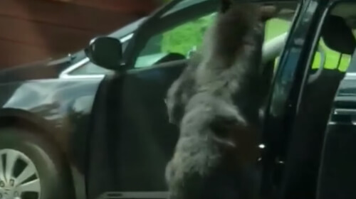 медведь открыл машину