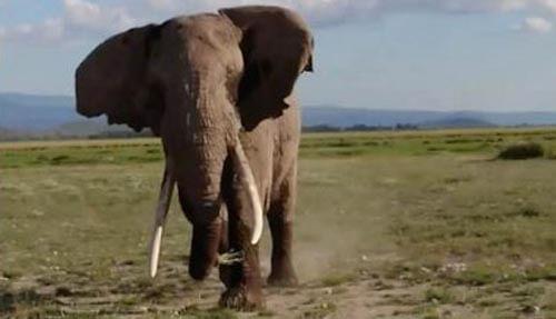злой слон и туристы на джипе