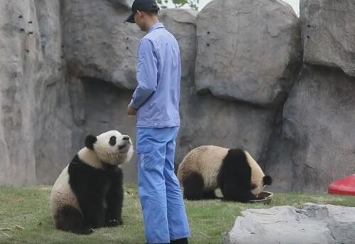 панда стоит на задних лапах