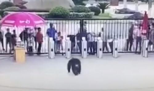 шимпанзе сбежал и пнул мужчину