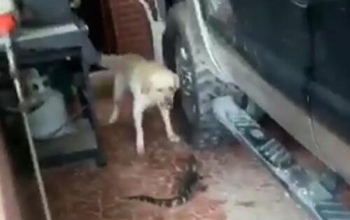 маленький аллигатор в гараже