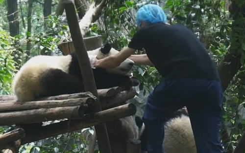 панд загнали домой с помощью мёда