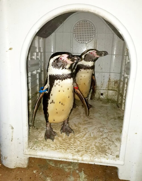 пингвины ходят в магазин