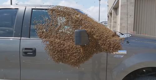 пчёлы отдыхают на автомобиле