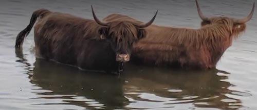 коровы искупались в озере