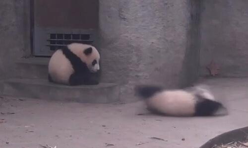 драматическое падение панды