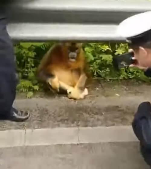 голодные обезьяны на дороге
