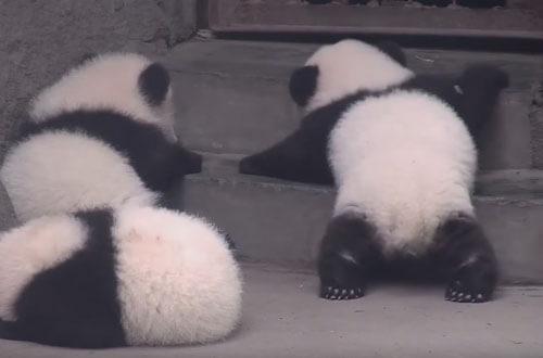 панда покоряет ступеньки