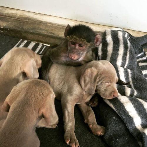 новая семья бабуинов