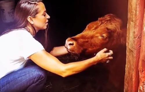 коровы против стресса