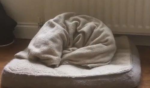 собака заворачивается в одеяло