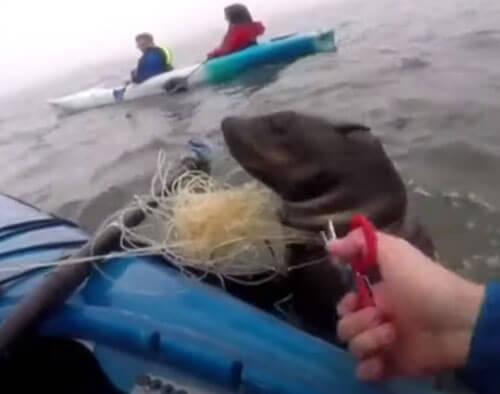 каякеры спасли тюленя