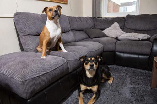 собаки уничтожают диваны