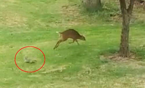 борьба белки с оленем