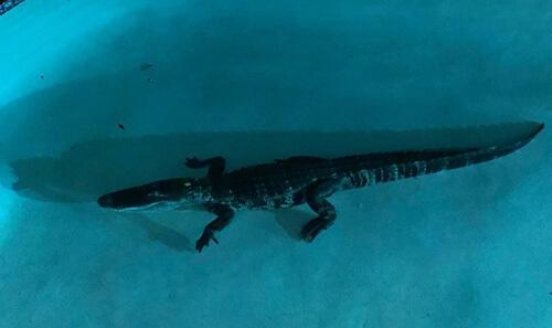 аллигатор захватил бассейн
