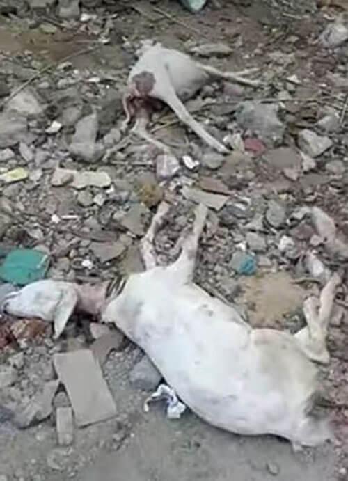 обескровленные мёртвые козы