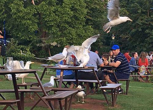 чайки прилетают в паб