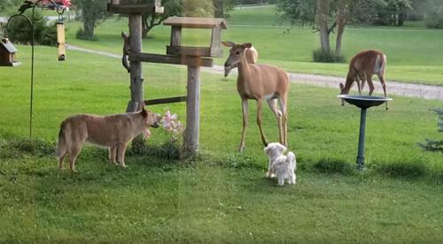 храбрый олень не испугался собак