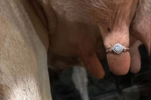 кольцо на коровьем вымени