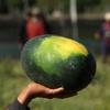 мировой рекорд с арбузами