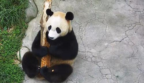 странная гитара для панды