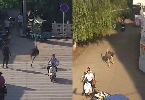 страус бегает по улицам