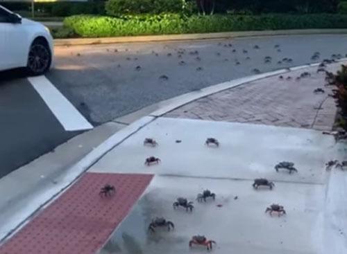 крабы захватили улицу
