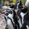 выбор пингвина месяца