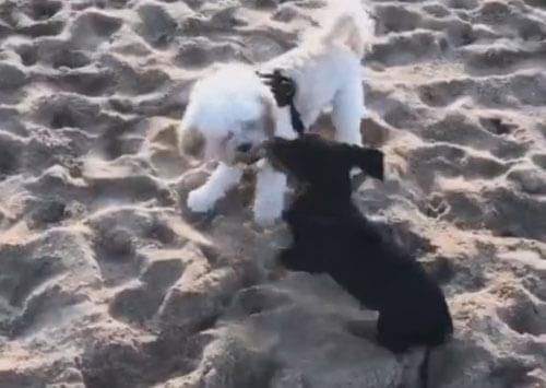 собаки уронили девушку в песок