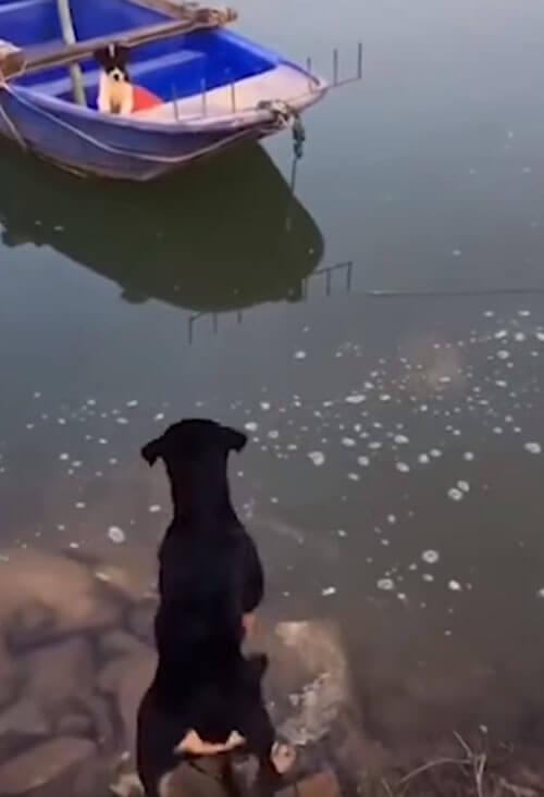 ротвейлер спас подругу с лодки