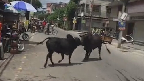 быки разбили витрину магазина