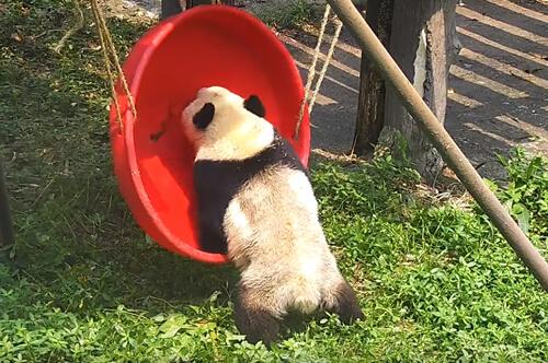 панда и неудобные качели