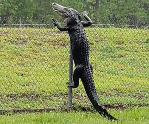 аллигатор лезет через забор