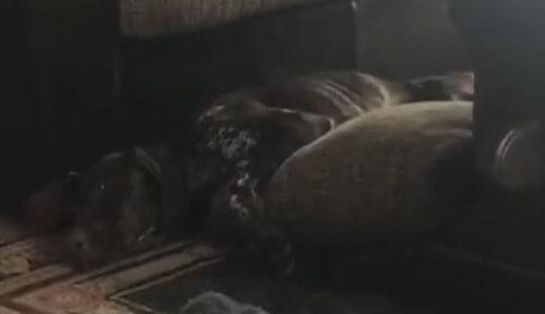 пёс грациозно упал с дивана