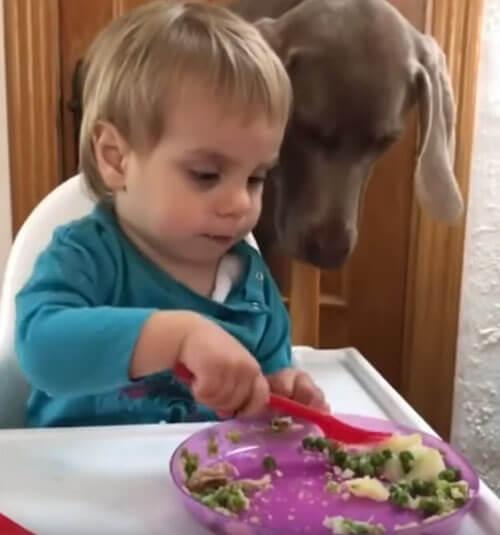 собака ворует еду с вилки