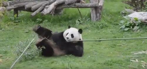 реальная кунг-фу панда