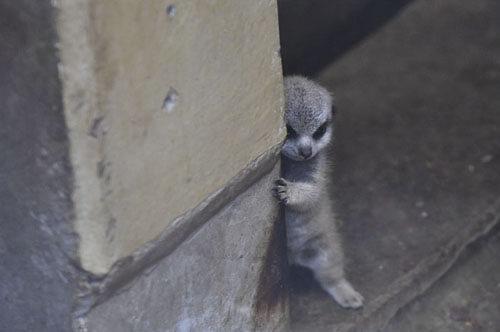 маленький застенчивый сурикат
