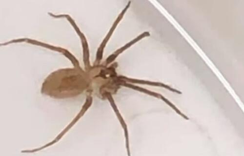 ядовитый паук в ухе пациентки